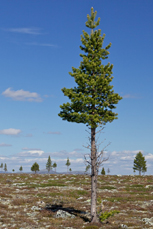 Moose-grazed pines in Femundsmarka.