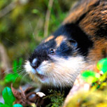 Norwegian lemming