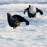Black grouse lek