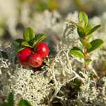 Reindeer lichen and lingonberry