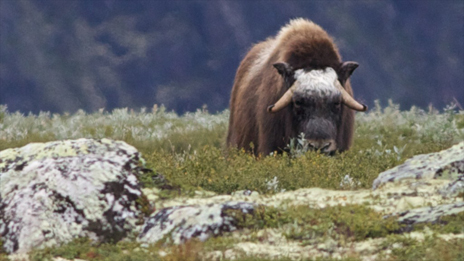 Keep a distance if you see a musk ox – for their safety as well as your own. Photo: Naturcentrum AB.