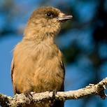 Siberian jay has an eye on your lunch packet. Photo: Marcus Elmerstad.