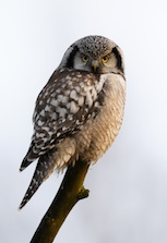 Northern hawk owl lives in the old-growth forest.
