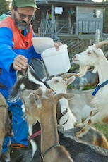 Feeding the goats at Lofjätåsen. Photos: Naturcentrum AB.