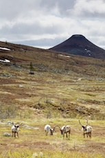 Reindeer pastureland at Mount Städjan. Photo: Kentaroo Tryman.